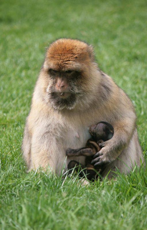 monkey forest Trentham Estate