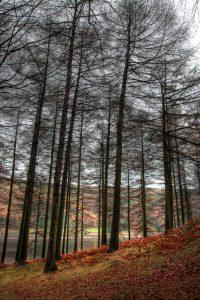 Derwent woods