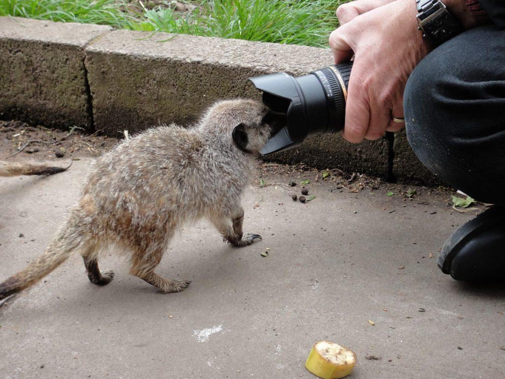 Meerkat and camera