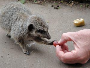 Phil-feeding-Meercat